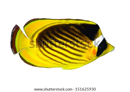 Diagonal-lined butterflyfish (Chaetodon fasciatus) isolated on white background.