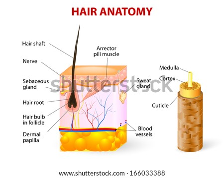 Diagram of a hair follicle in a cross section of skin layers - stock photo