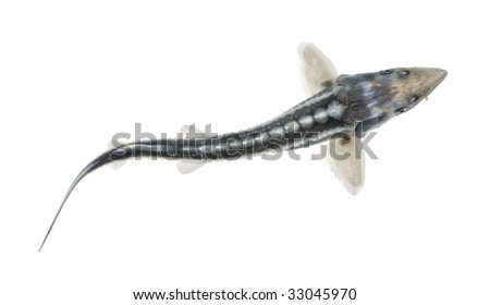 Diamond Sturgeon - Acipenser gueldenstaedtii in front of a white background