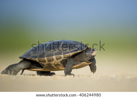 Diamond Terrapin turtle walking