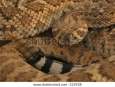 Diamondback coiled showing head tail and rattle - stock photo
