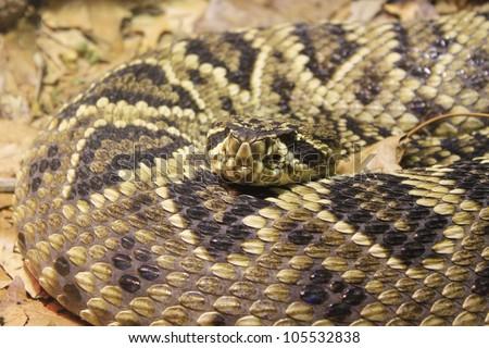 Diamondback rattle snake - stock photo