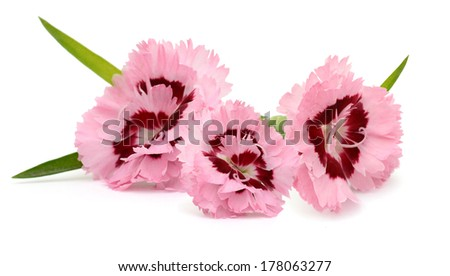 Dianthus flowers, three blooming