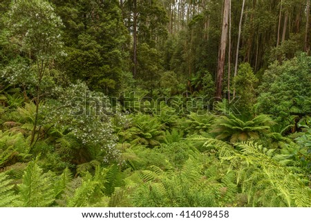 Dicksonia antarctica (soft tree fern, man fern) is a species of evergreen tree fern native to eastern Australia, ranging from south-east Queensland, coastal New South Wales and Victoria to Tasmania. - stock photo