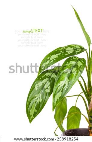 Dieffenbachia in flowerpot isolated on white background - stock photo