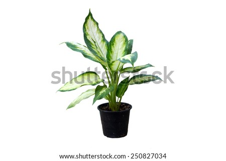 Dieffenbachia plant in black flowerpot with isolated