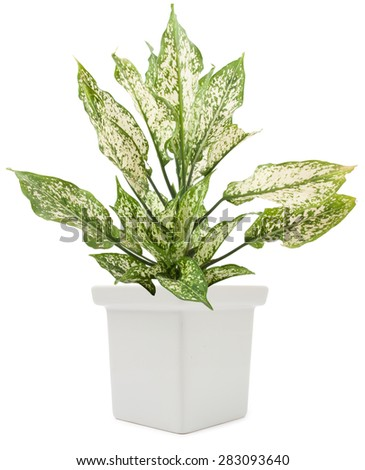 dieffenbachie lat dieffenbachia green plant in flower pot isolated on white background - stock photo