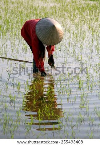 Dien Bien Phu - Vietnam, February 15, 2015: A farmer working on Muong Thanh field.