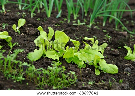 Different Bio vegetable seedlings (lettuce, onion) growing in the soil. - stock photo