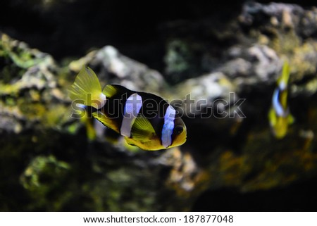 different colorful fishes swimming in aquarium - stock photo