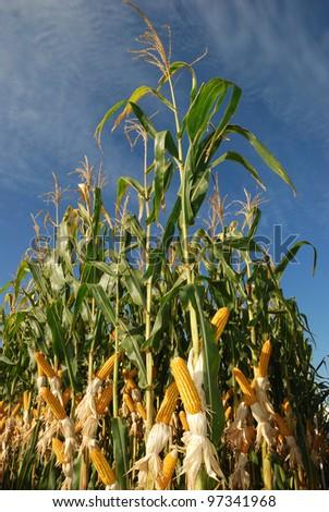 different corn plantation - stock photo