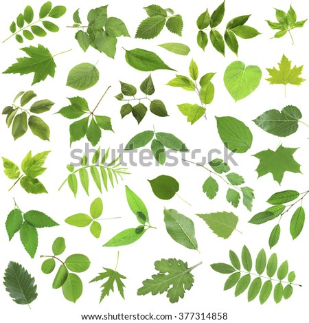 Different  green leaves, isolated on white - stock photo