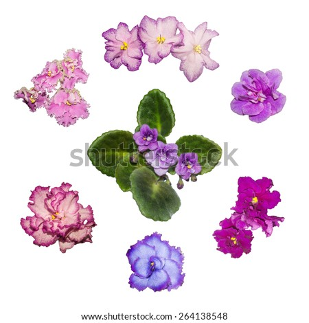 Different kinds of violets blossom - stock photo