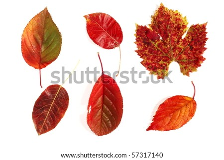 Different red autumnal leaves photographed on white background - stock photo