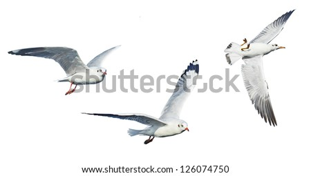 different seagulls isolated on white background. - stock photo