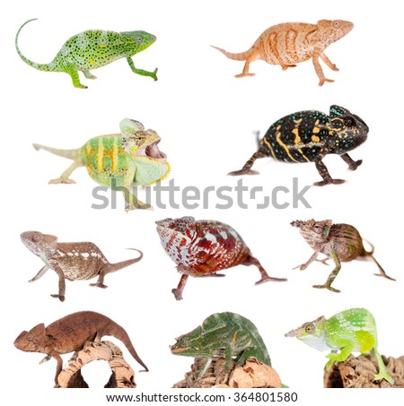 Different species of chameleons, isolated on white background