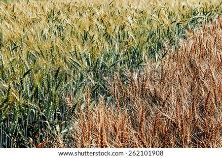 Different varieties of wheat grown in the vicinity. - stock photo