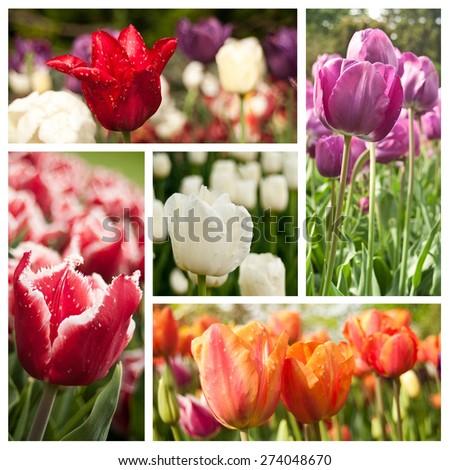 different vieuw of tulipes collage - stock photo