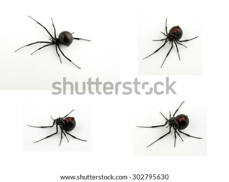 different views of a dead black widow spider isolated on a white background