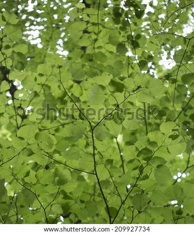 Diffuse green background of cottonwood leaves - stock photo