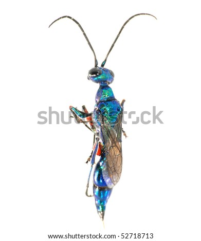 digger wasp isolated in white