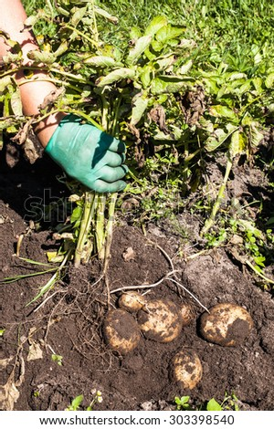 Digging potatoes on the field from soil. Potatoes harvesting in autumn. Image of agriculture. - stock photo