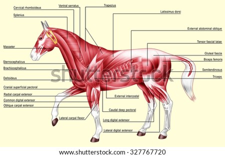 Digital illustration: muscles of the horse Isolated on yellow - stock photo