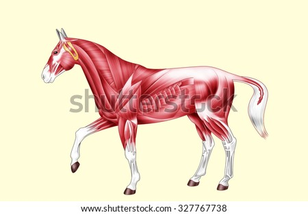 Digital illustration: muscles of the horse Isolated on yellow No text