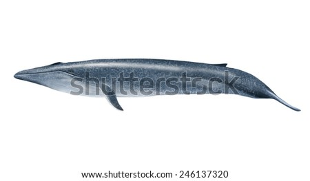 Digital illustration of a blue whale - stock photo