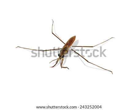 Digital illustration of a common pond skater