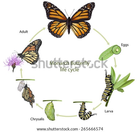 Digital illustration of a monarch butterfly life cycle - stock photo