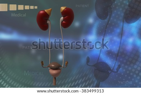 Digital illustration of Kidneys and urinary bladder in colour background