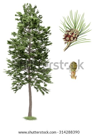 Digital illustration, parts of the Scots pine