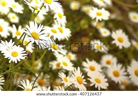 Digital painting of Wild chamomile flowers against a background of green