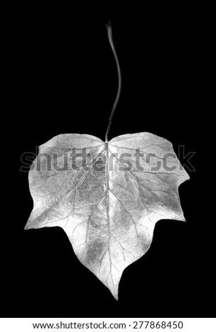 digital photogram of ivy leaf studio cut out - stock photo
