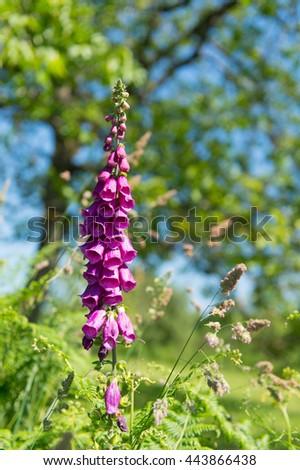 Digitalis purpurea in nature environment - stock photo