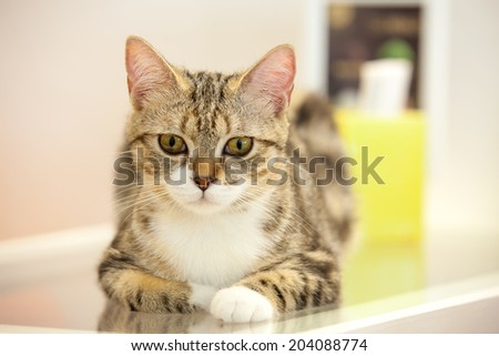Dignity Cat sit on the table with eyes contact