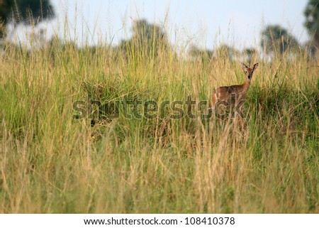 Dik Dik Antelope at Murchison Falls National Park Safari Reserve in Uganda - The Pearl of Africa - stock photo