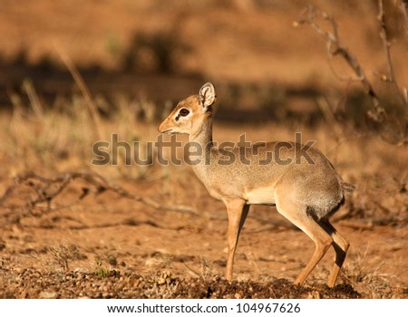 Dik-dik facing left