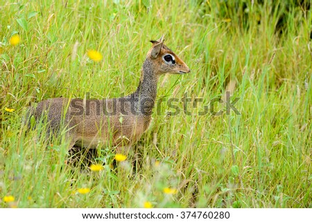 Dik Dik in Grasslands of the Serengeti, Tanzania - stock photo