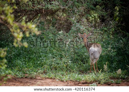 dik-dik in the bushes - stock photo