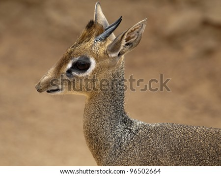 Dik dik, Madoqua kirkii - stock photo