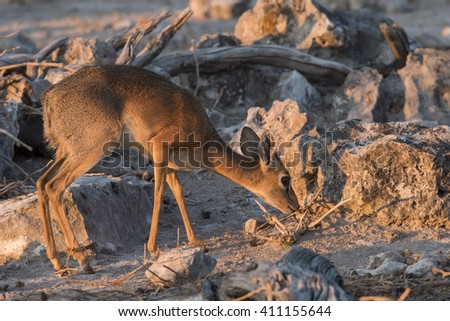 Dik-dik (Madoqua kirkii) foraging amongst rocks in Etosha National Park, Namibia - stock photo