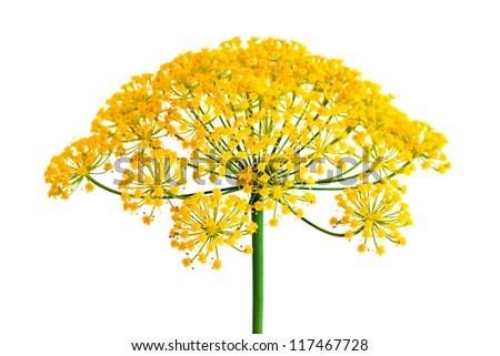 Dill flower closeup, isolated - stock photo