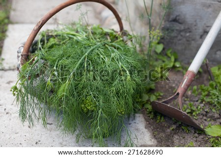 dill in a basket outdoor