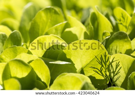 dill lettuce, background - stock photo