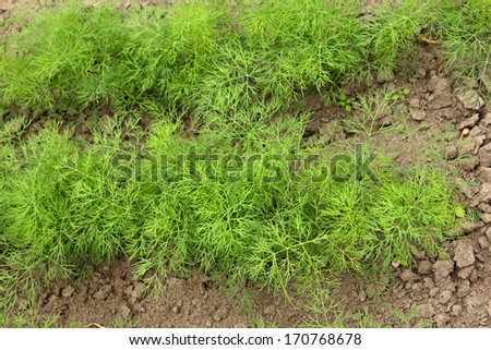 Dill line - stock photo