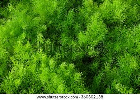 Dill Plant In The Garden