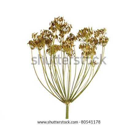 dill umbrel with seeds isolated on white - stock photo