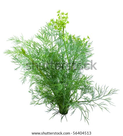 Dill young and green on a white background - stock photo